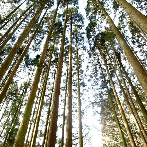 檜の写真 4